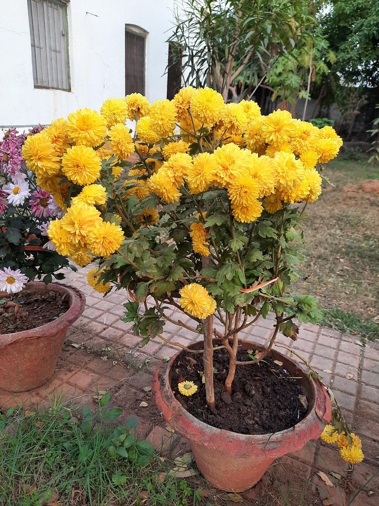 Vidyapith Flowers (13)