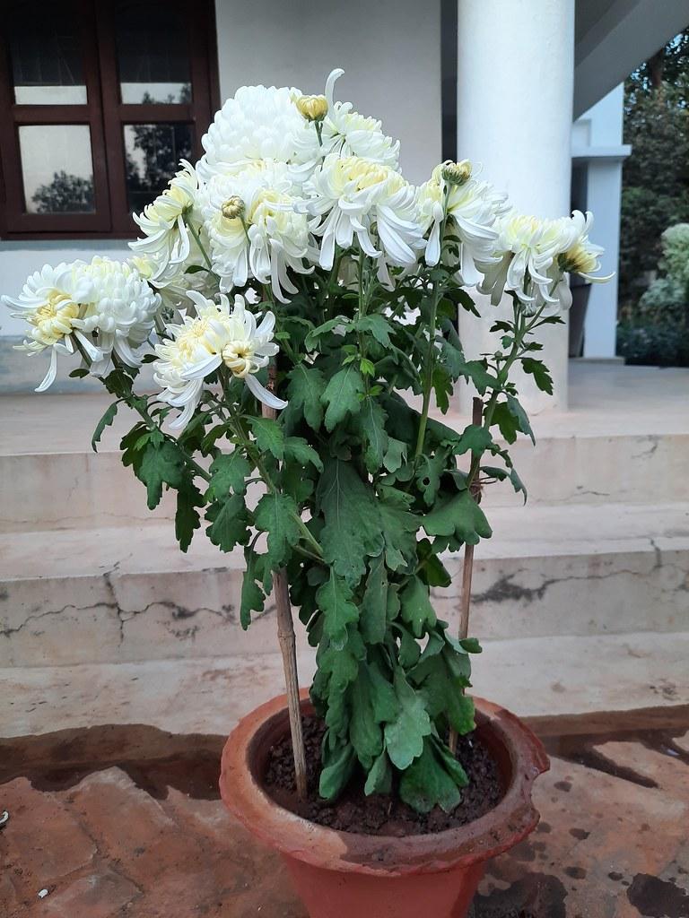 Vidyapith Flowers (43)