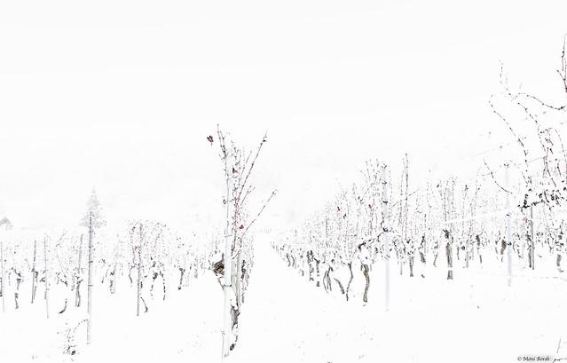 Schneegestöber im Weinberg  ( on explore 01 - 04 -2021 #154