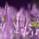 紫 / Purple Bokeh
