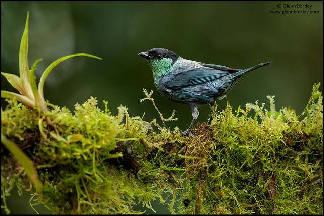 Black-capped Tanager - 04