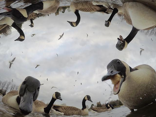 Stowe Geese
