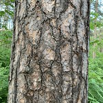 Bark on large red pine trees, Cloquet Forestry Center