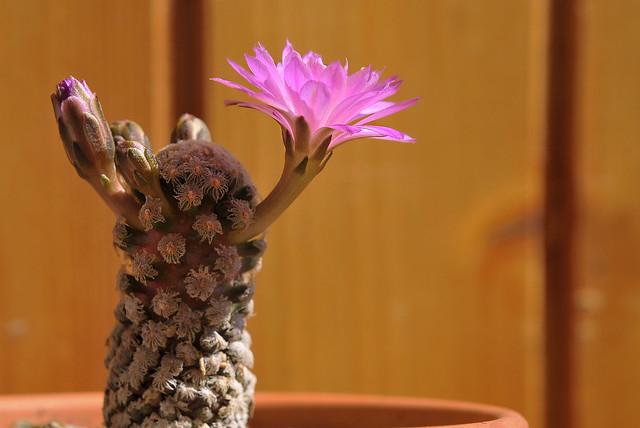 Mammillaria theresae  Cutak