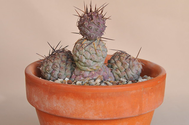 Tephrocactus geometricus  (A. Cast.) Backeb.