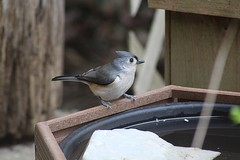 Tufted Titmouse at water station