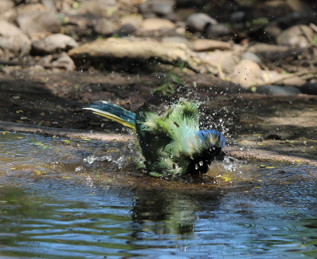 Green Jay Bathing Benston state park