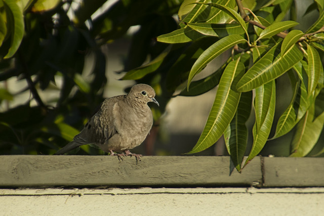 20210104 Mourning Dove