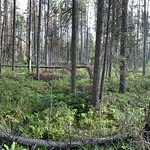 Black spruce in a small bog, Cloquet Forestry Center