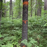 Marked pine thinning, Marcell Experimental Forest
