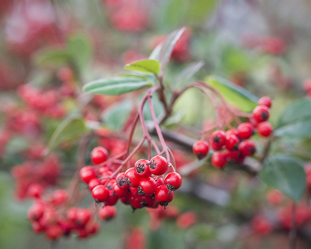 Cotoneaster meiophyllis, Chinese cotoneaster