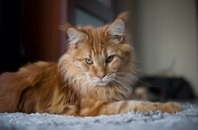 Leo, the lion cat ...