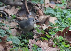 Tufted Titmouse seed hunting on the ground