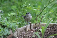 Tufted Titmouse on a planter