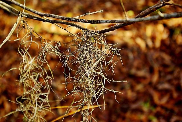 """""""Spanish Moss ('Tillandsia usneoides')"""""""