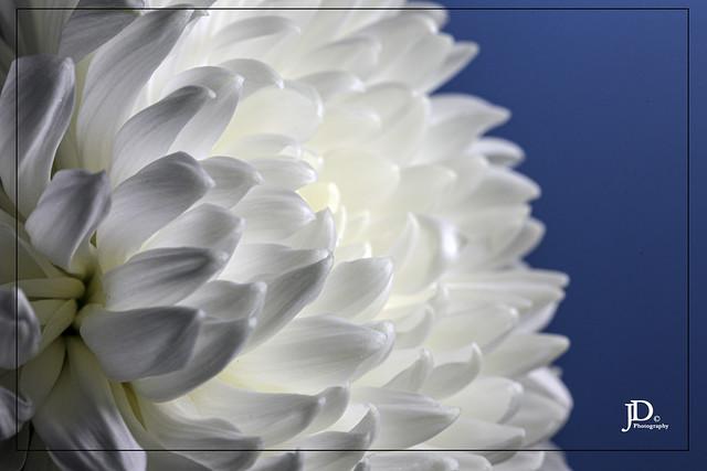 Chrysanthemum white B