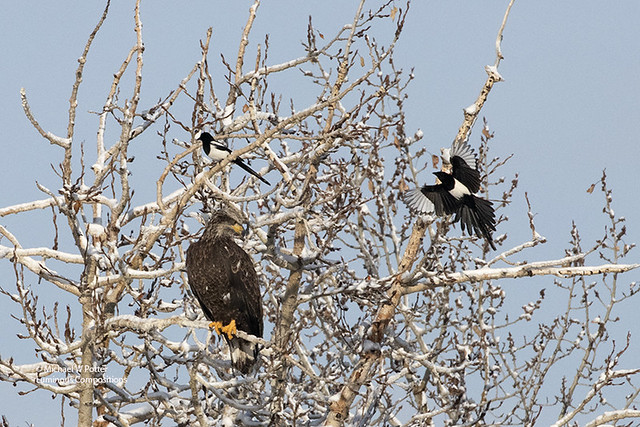Two Black-billed Magpies mobbing a subadult Bald Eagle