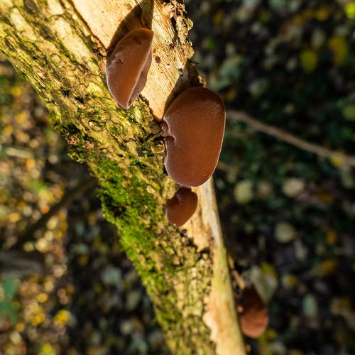 Ear fungus by Railway Walk