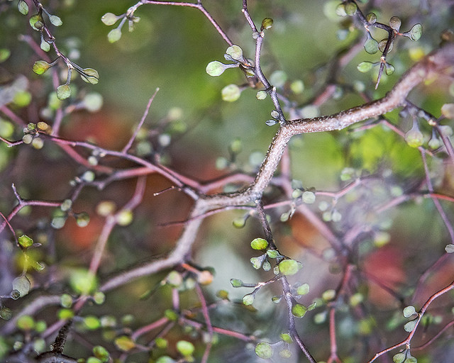 Corokia cotoneaster, wire-netting bush