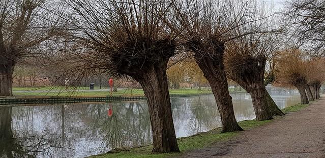Willow Trees. The Embankment