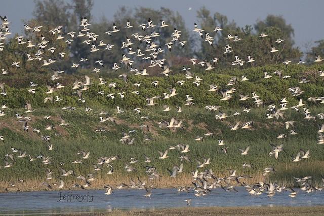 反嘴鷸, 反嘴鴴, Pied Avocet, Recurvirostra avosetta,