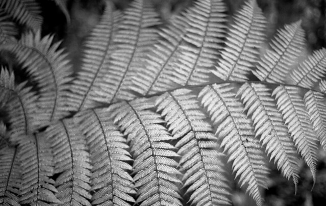 Fern (Berkeley Botanical Garden)