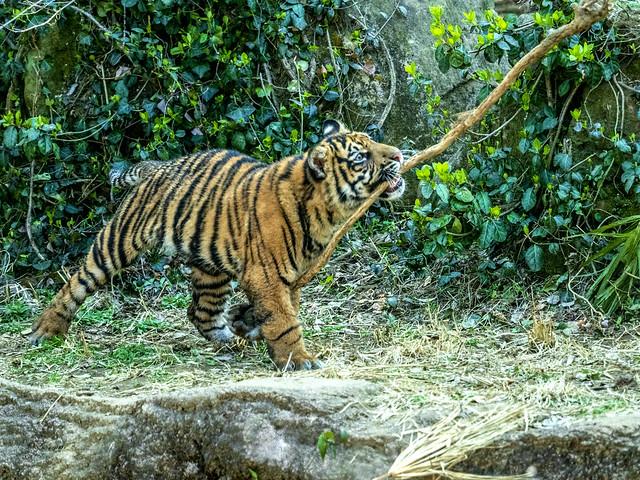 170404-143820 Sumatran Kid Tiger スマトラ虎の子供