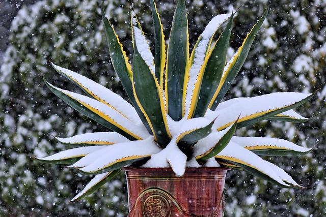 My Agave under snow storm (Agave Americana Marginata)