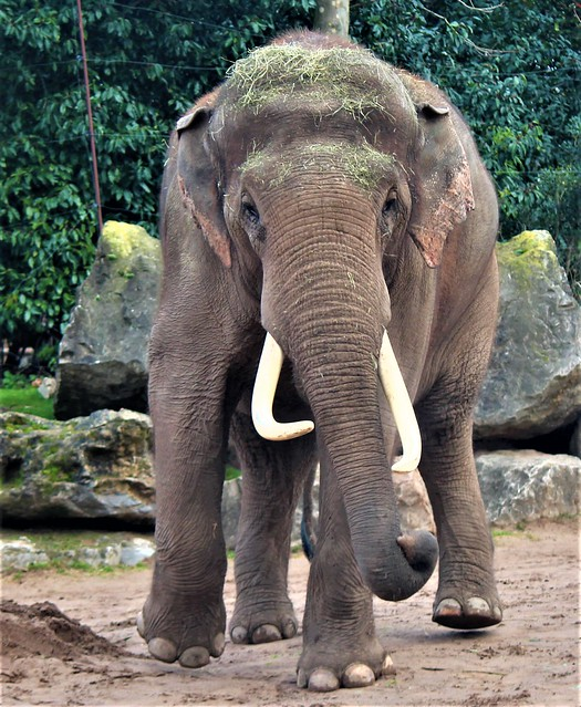 An asia elephant at Chester zoo