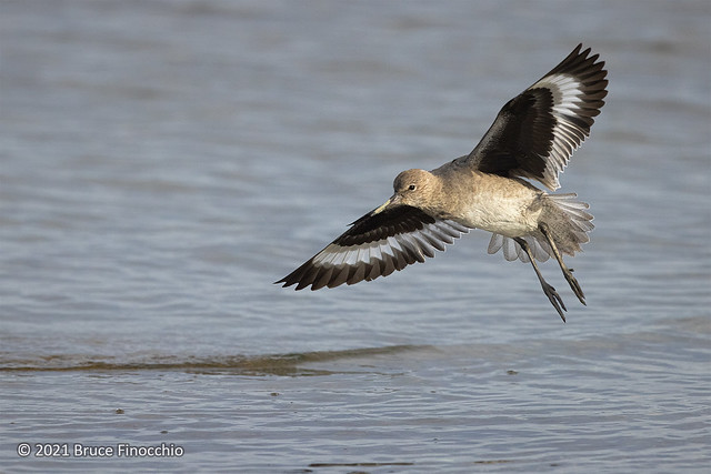 Willet With Wings Out And Legs Down Prepares To Land On The Waters Of San Francisco Bay