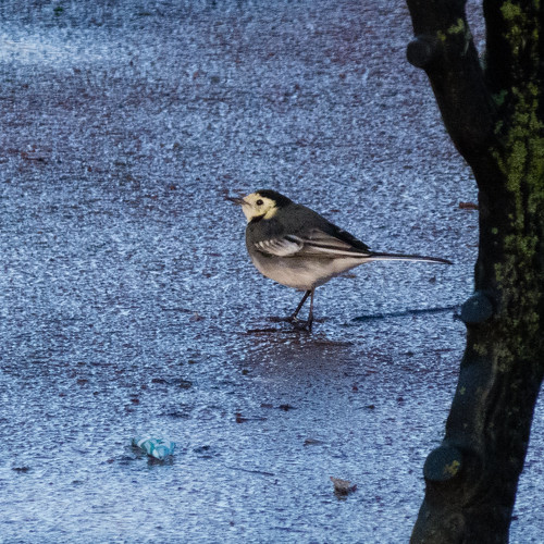 Pied wagtail by West Park bench