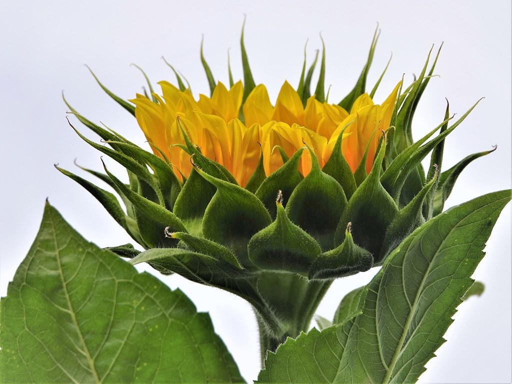 DSC00077 - Nearly a sunflower