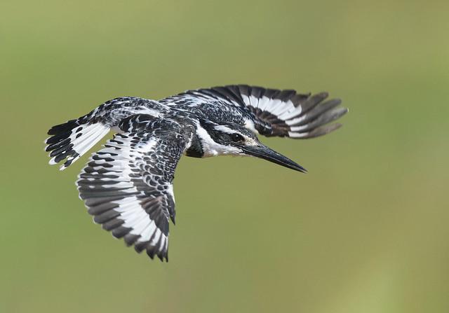 Pied-Kingfisher, Bonte IJsvogel