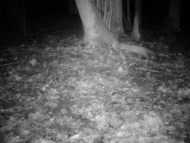 Metsnugis / European pine marten / Martes martes