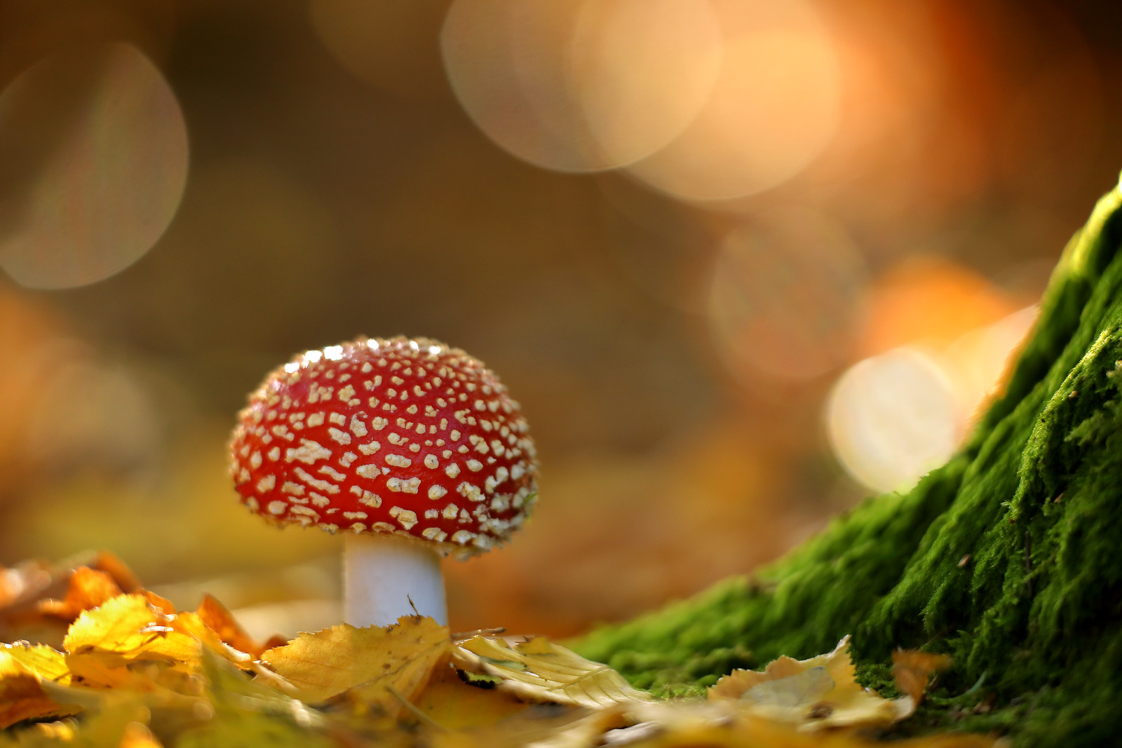 Fly Agaric in Woodland at Sunset