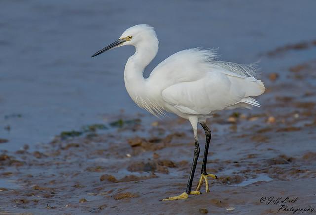 DSC7455  Little Egret...