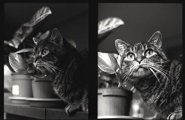 Il re dei gatti
