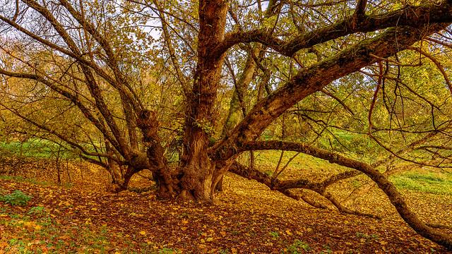 Autumn Tree V