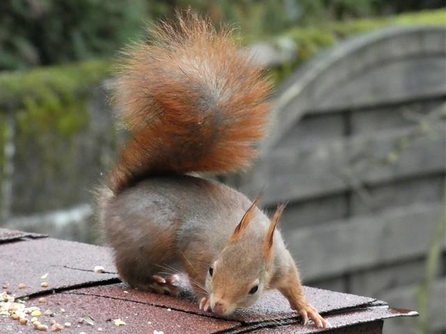 L écureuil au jardin.