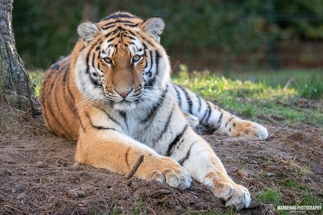 Siberian Tiger - Safaripark Beekse Bergen - The Nehterlands