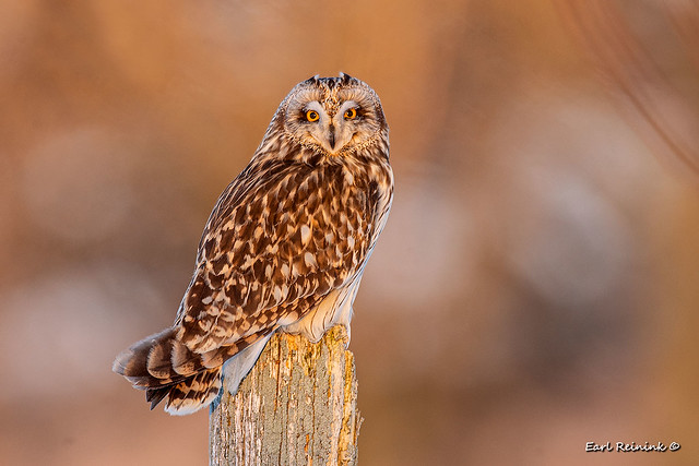 Short-eared at the golden hour