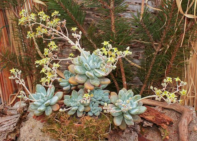 Graptosedum ´Salmon´ 3985-1; Crassulaceae (2)