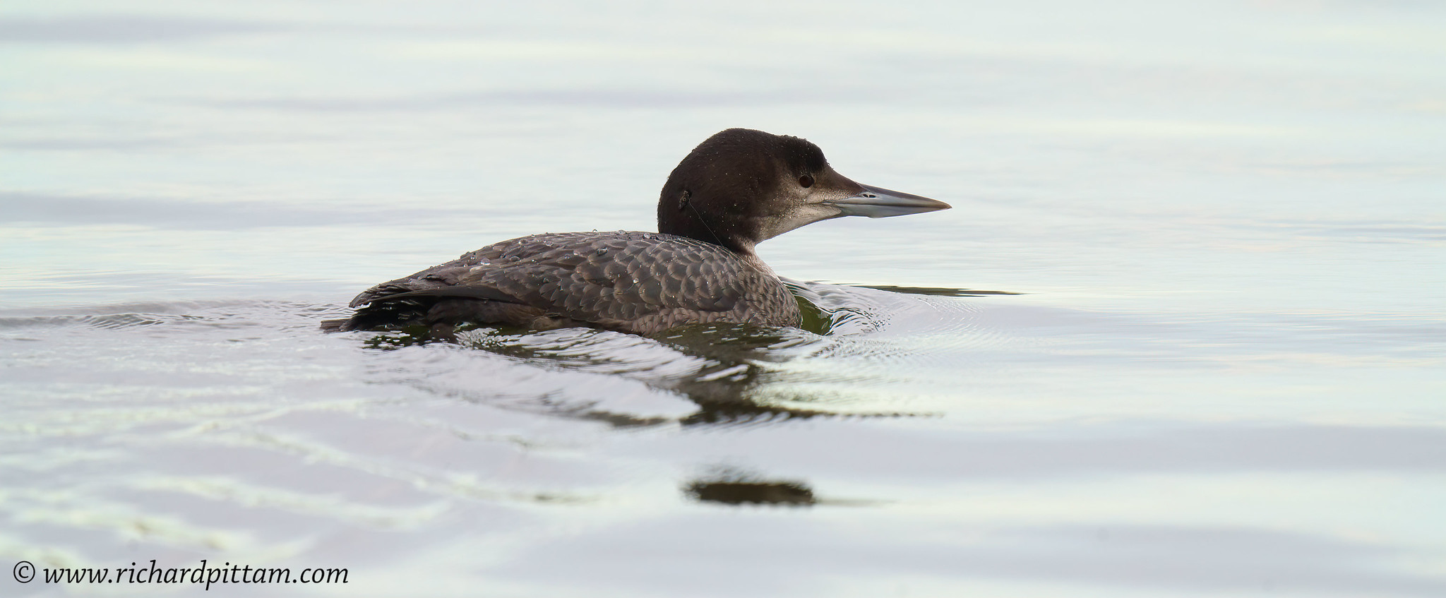 Great Northern Diver  [note the Pike fishing lure and trace on and around it's neck]