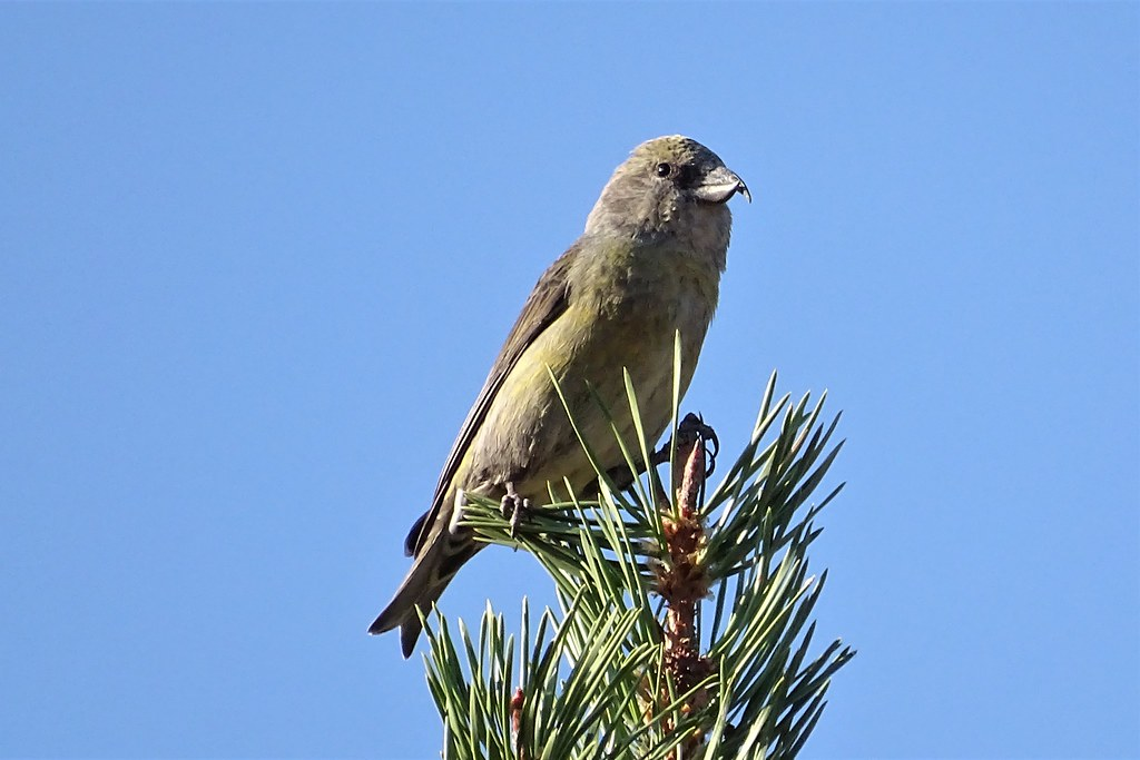 Red Crossbill (Loxia curvirostra)--female