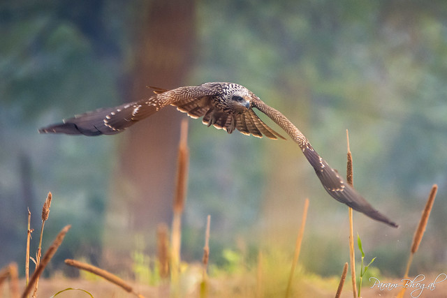 Black Kite (PB2_3273)