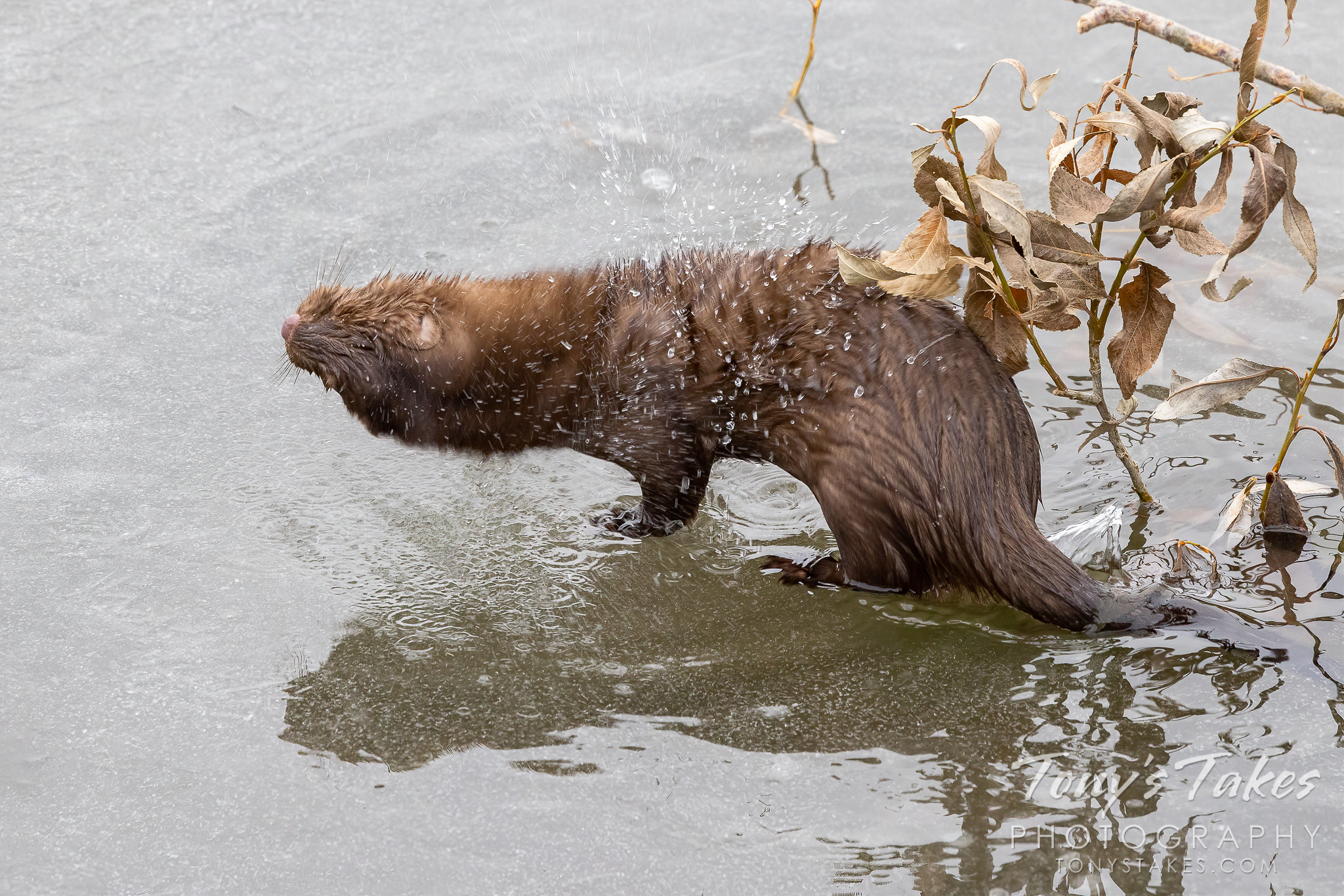 American mink shakes off head to toe