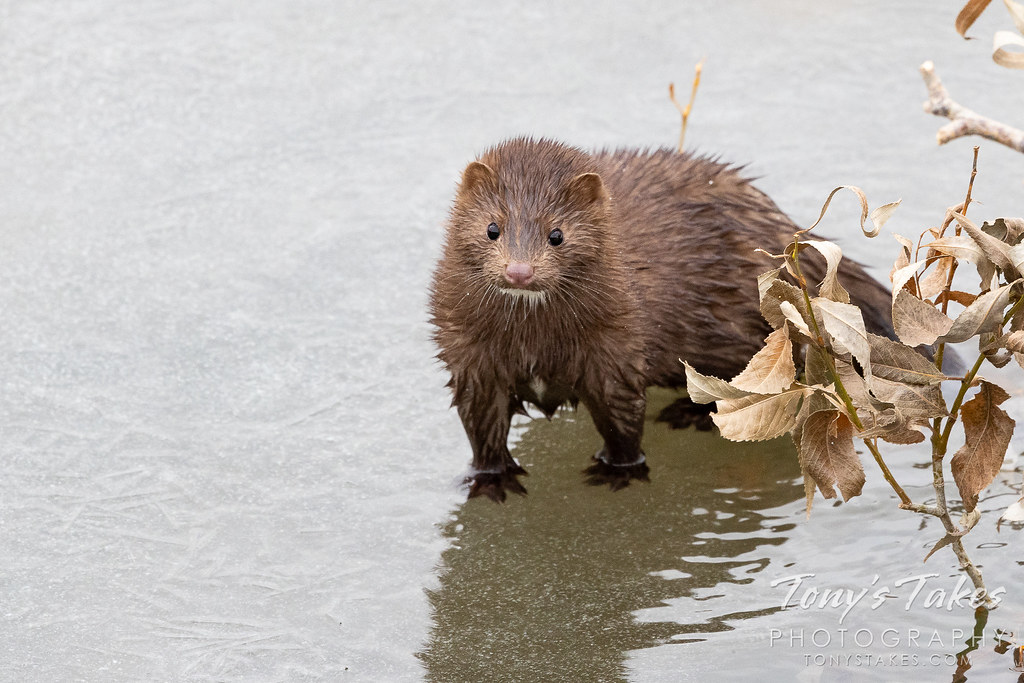 An American mink explores a creek in Colorado. (© Tony's Takes)