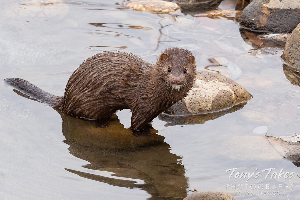 American mink explores a frozen creek