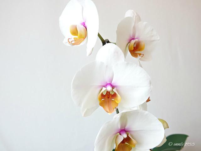 Phalaenopsis ' Venus ' Eine außergewöhnliche Schönheit!