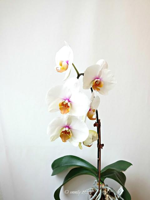 Phalaenopsis ' Venus ' Eine meiner schönsten Phalaenopsen!